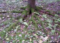 Разбросали корни по земле...