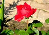 Красная роза_lena_voronova