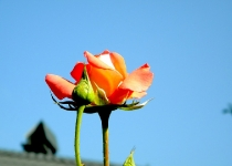 roza-krysha